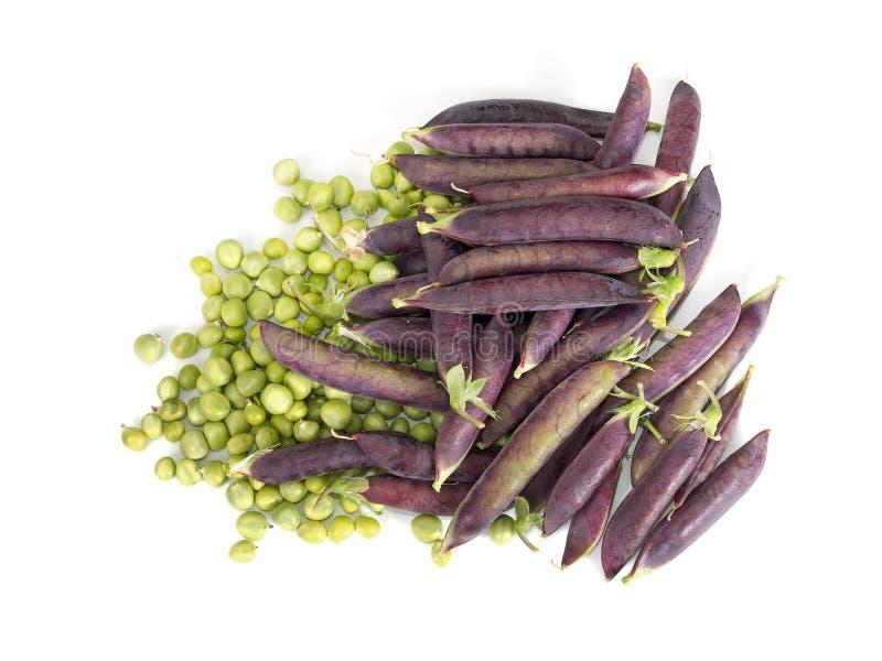 Hem- purpurfärgade podded nya trädgårds- ärtor - - fullvuxen vårgrönsak arkivbilder