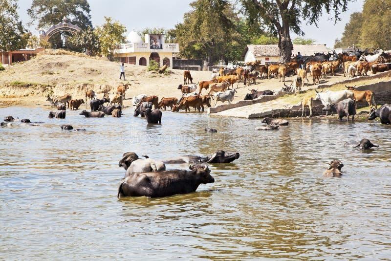 Hem- tid för buffel och nötkreatur efter dopp arkivbild
