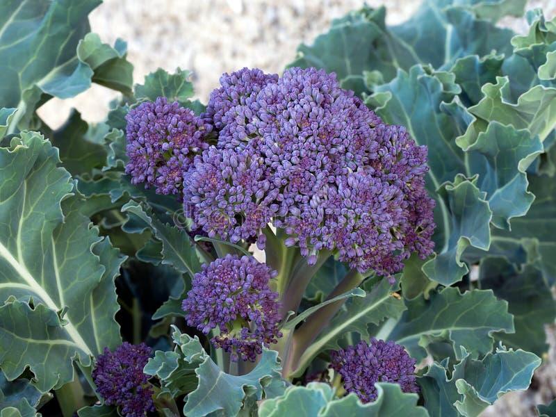 Hem- trädgård - lila som sprounting den sunda grönsaken, som brocc arkivfoto