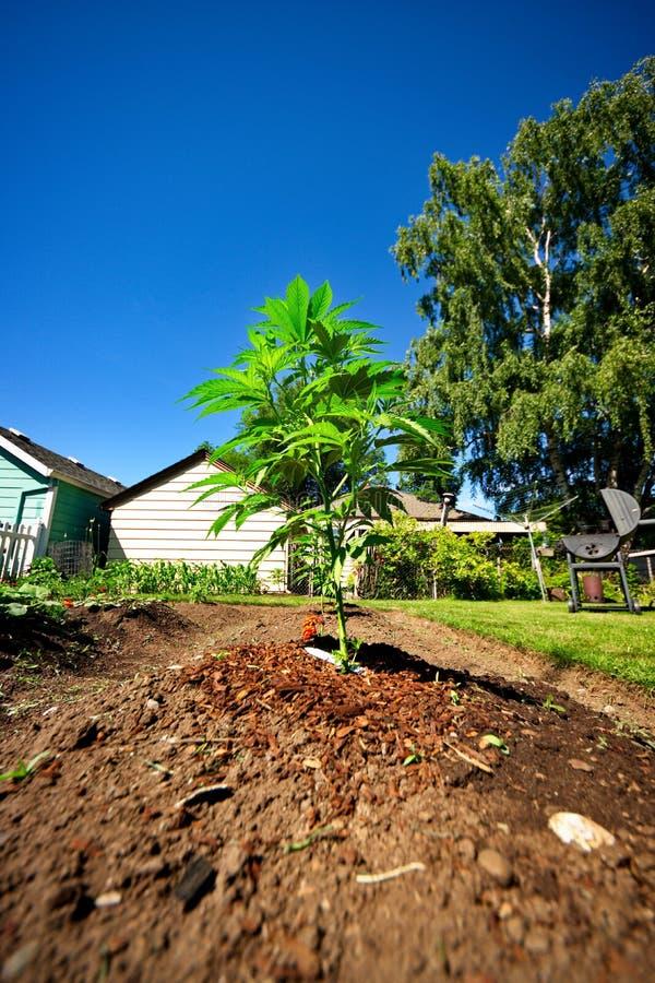 Hem- trädgårdmarijuana arkivfoto