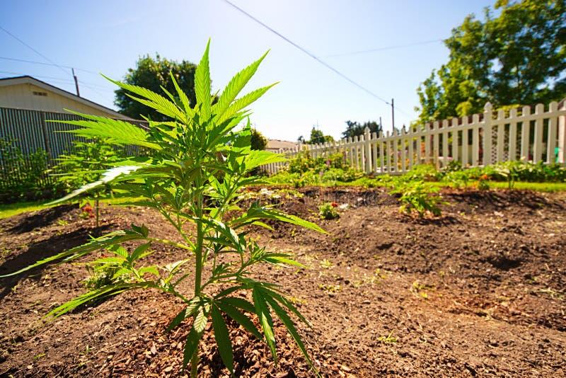 Hem- trädgårdmarijuana royaltyfri fotografi