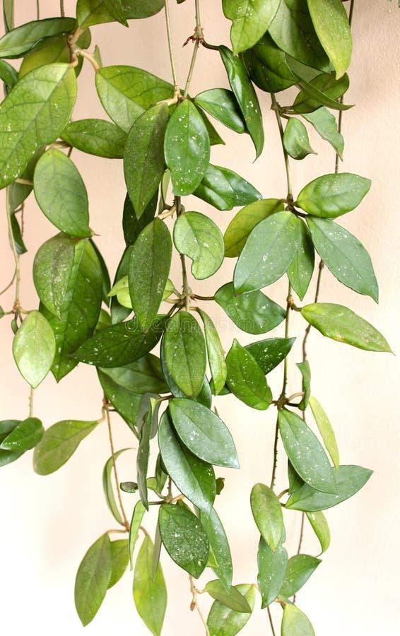 Hem- växt hoya arkivfoto