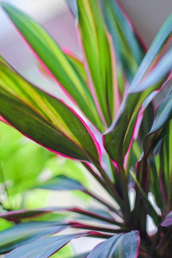 Hem- växt i en kruka - dracaena med ljusa sidor royaltyfri fotografi