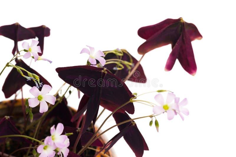 Hem- växt på på vit bakgrund royaltyfri fotografi