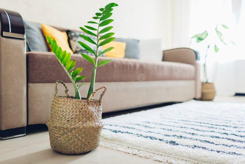 Hem- växt som sätts i sugrörkorg Inre dekor av vardagsrum royaltyfria bilder