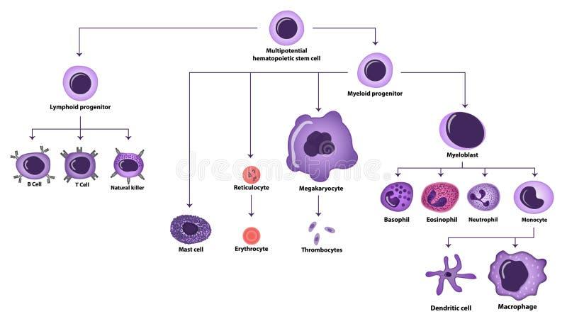 hematopoiesis cell types scheme stock illustration. Black Bedroom Furniture Sets. Home Design Ideas