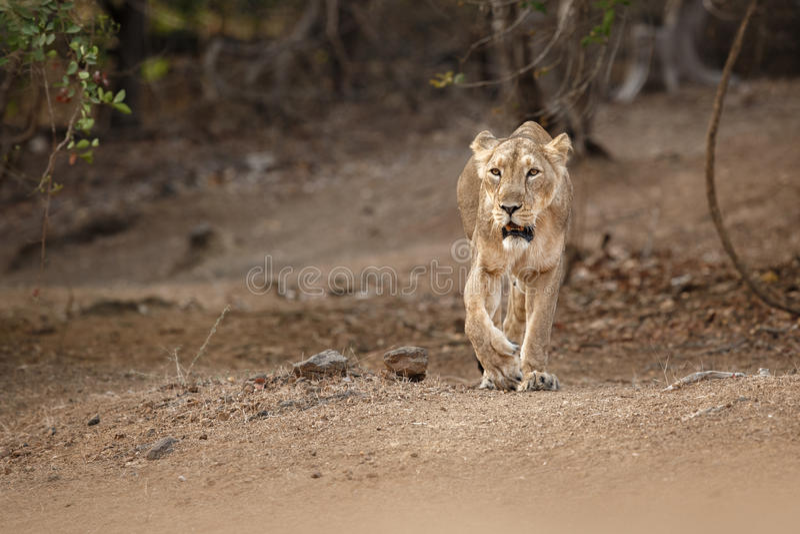 Hembra asiática del león en el hábitat de la naturaleza en el parque nacional de Gir en la India foto de archivo