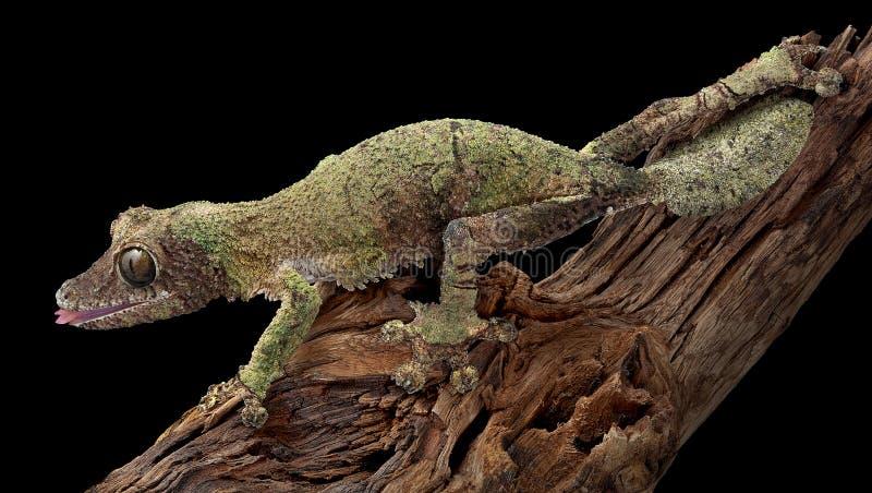 Hembra cubierta de musgo del gecko en la ramificación foto de archivo