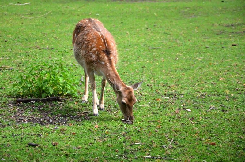 Hembra de alimentación de los ciervos en barbecho en la fotografía de la hierba fotos de archivo