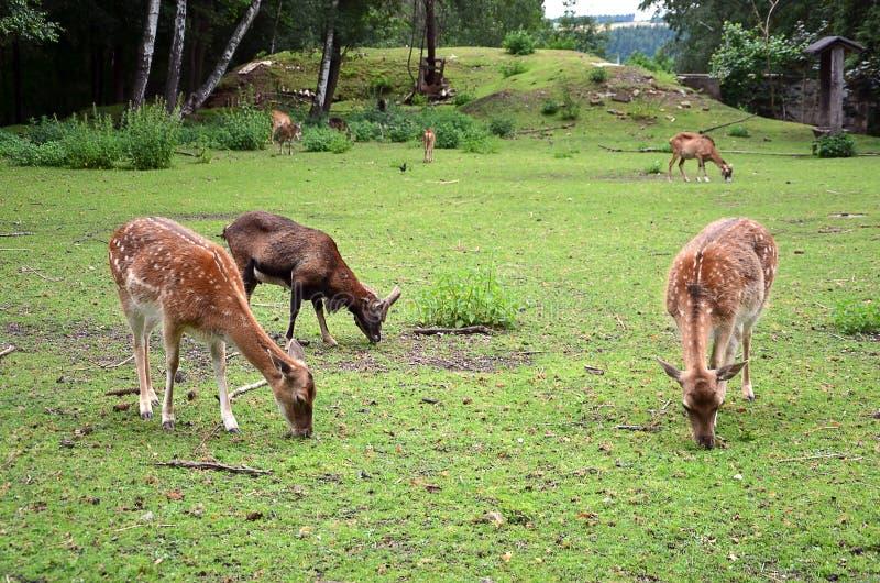 Hembra de alimentación de tres ciervos en barbecho en la fotografía de la hierba imagen de archivo