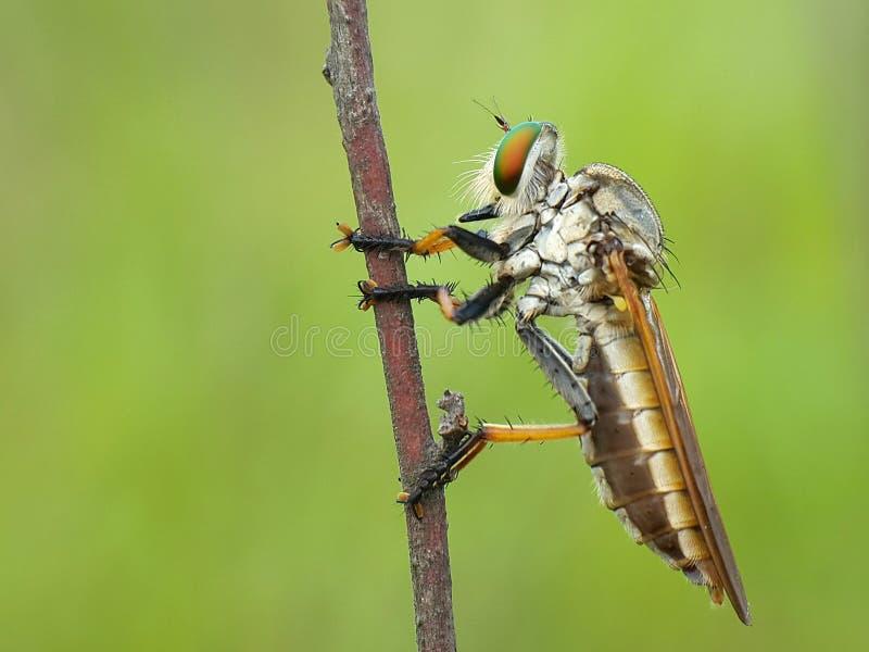 Hembra de la mosca de ladrón foto de archivo