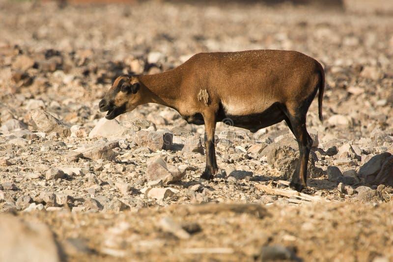 Hembra de las ovejas del Camerún fotos de archivo libres de regalías