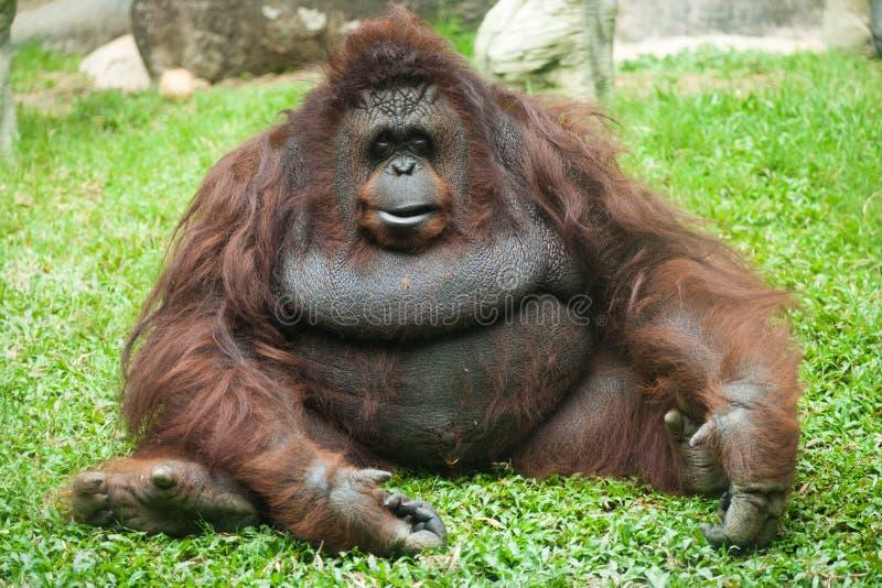 Hembra del orangután foto de archivo