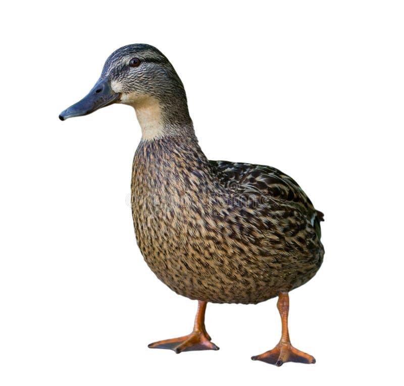 Hembra del pato salvaje. aislado en blanco. imagenes de archivo