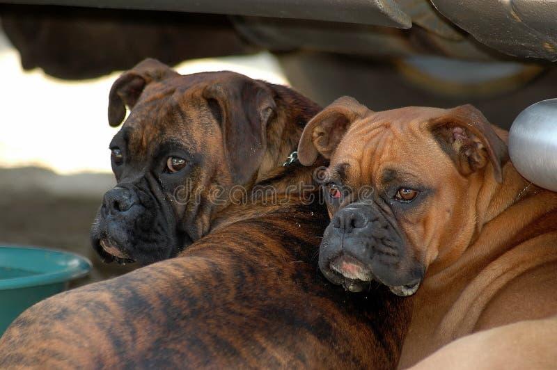 Hembra del perro de dos boxeadores fotos de archivo