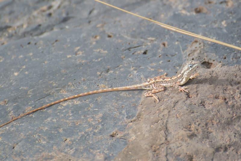 hembra Fan-throated del lagarto imagen de archivo