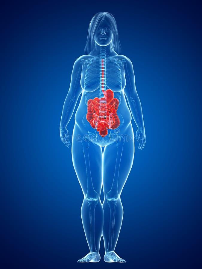 Hembra gorda - sistema digestivo libre illustration