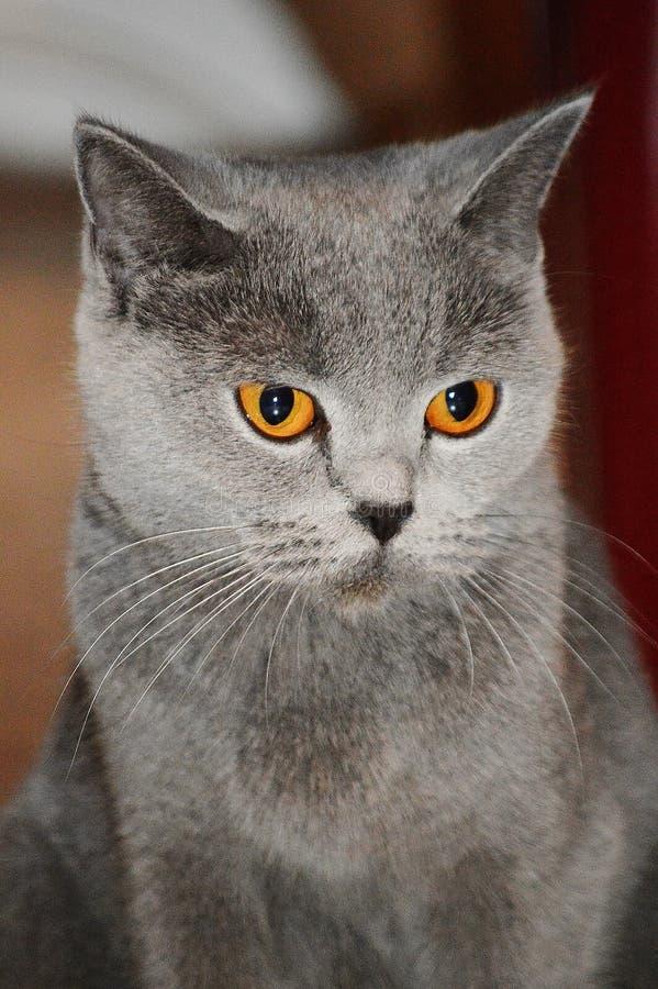 hembra nacional linda del gato británico de la raza imágenes de archivo libres de regalías