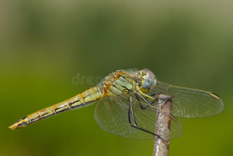 Hembra veteada rojo de la libélula del Darter fotografía de archivo libre de regalías