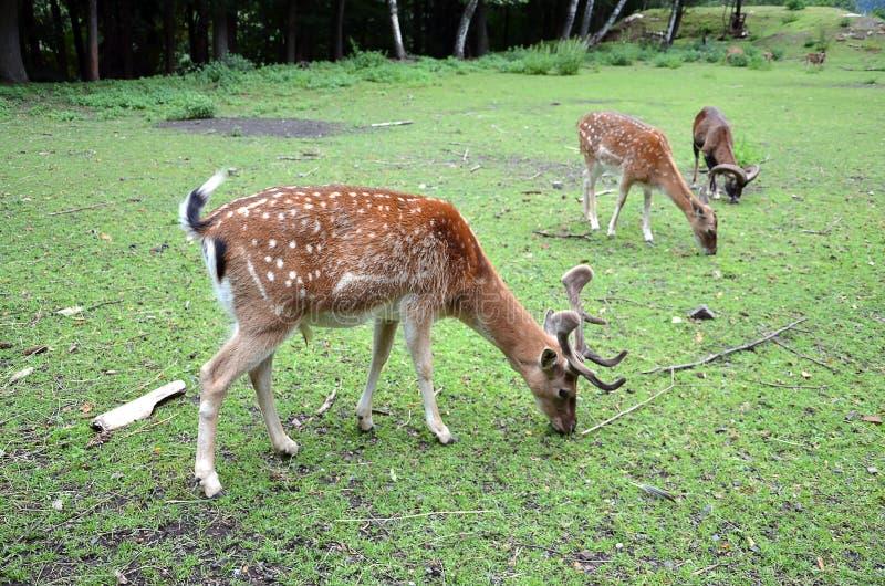 Hembras de alimentación de los ciervos en barbecho en la hierba foto de archivo libre de regalías