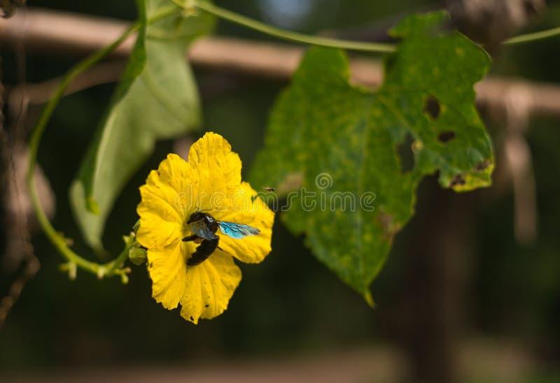 Hembras de las abejas de carpintero fotos de archivo libres de regalías