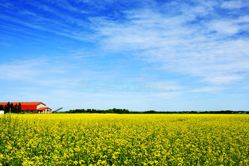 Hemel, landbouwbedrijf en canola of raapzaadgebied stock foto