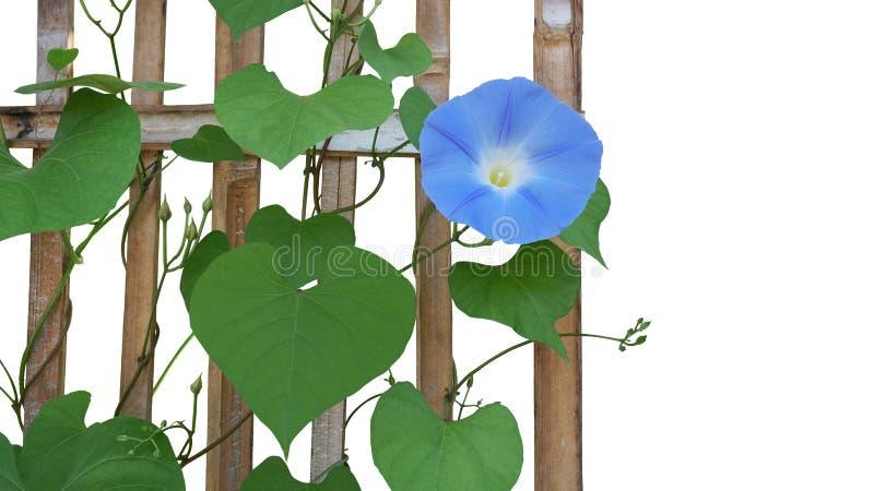Hemelse blauwe tricolor van de bloemipomoea van de Ochtendglorie met hart stock foto