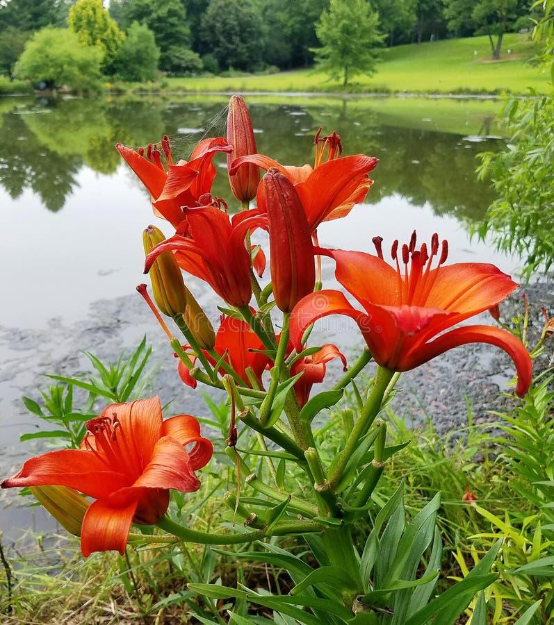 Hemerocallis alaranjados brilhantes com um fundo reflexivo do lago fotos de stock