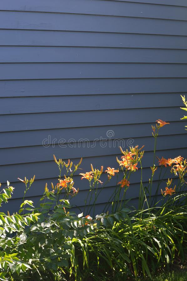 Hemerocallis alaranjados da luz solar em escuro - parede cinzenta fotos de stock