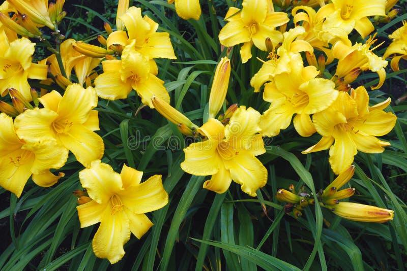 Hemerocallis amarillo, flores del daylily de Dumortieri Morr fotografía de archivo
