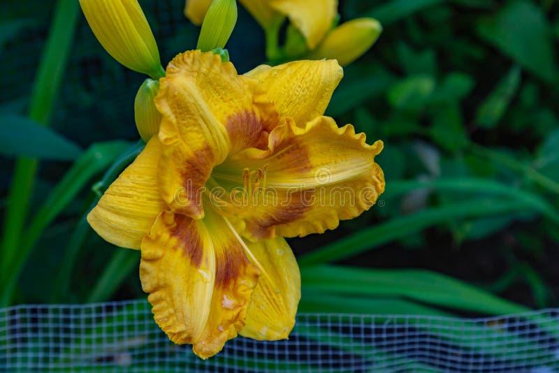 Hemerocallis amarillo limón perenne de los daylilies imagenes de archivo