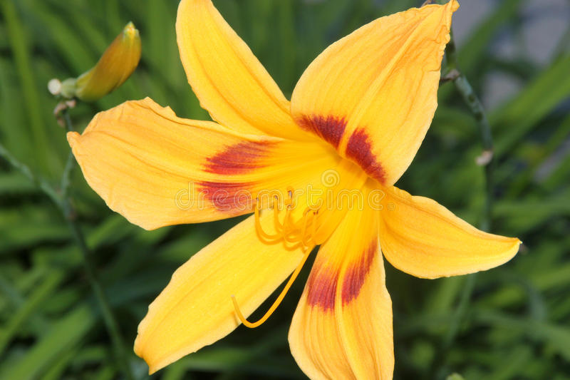 Hemerocallis bonanza bonanza daylily stock photo image of download hemerocallis bonanza bonanza daylily stock photo image of flowers tuft mightylinksfo