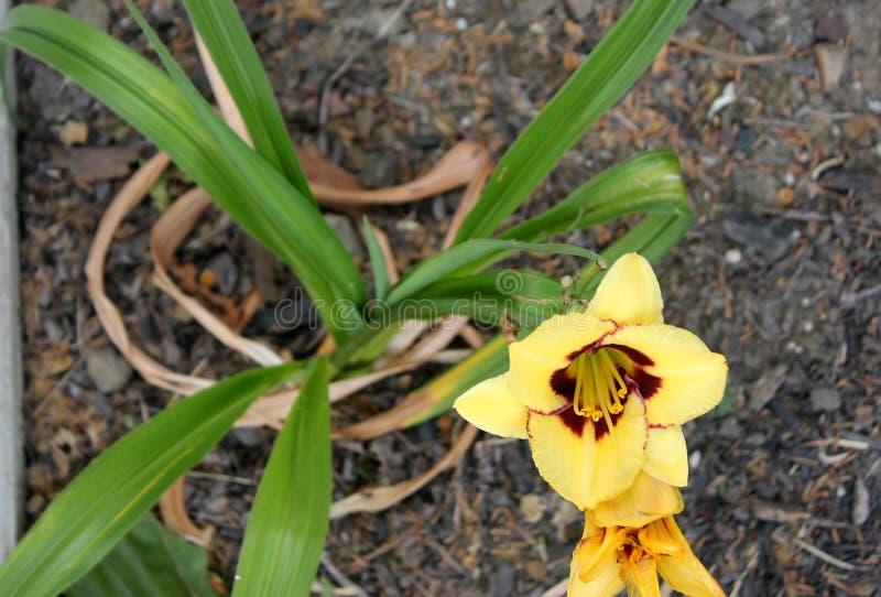 Hemerocallis `Custard Candy`, Custard Candy Daylily. Ornamental bulbous perennial with yellow flowers, purplish maroon eye and green throat stock image