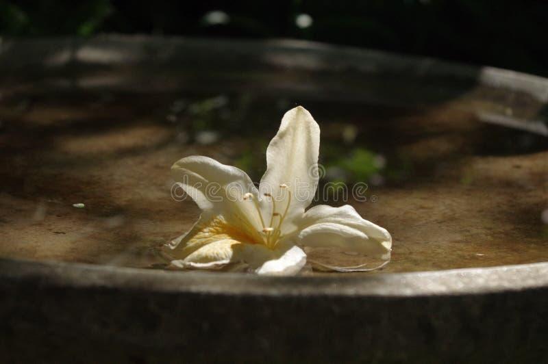 Hemerocallis floating in a birdbath royalty free stock photos
