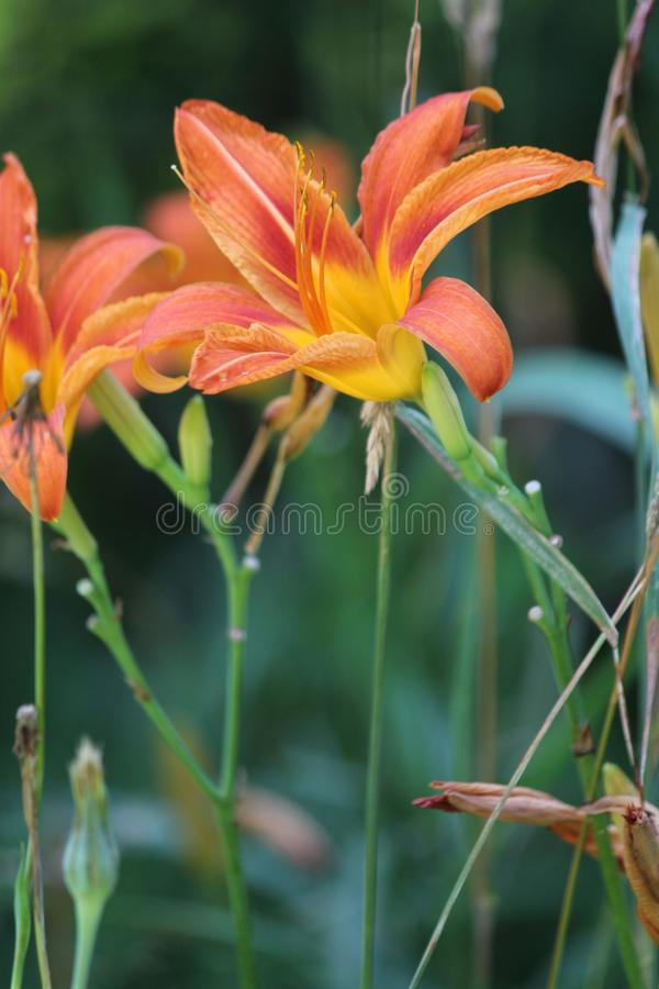 Hemerocallis, fulva alaranjado do Hemerocallis imagem de stock