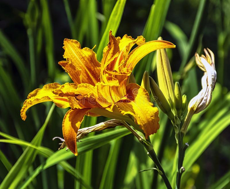 Hemerocallis fulva known as orange day-lily, tawny, tiger, railroad, roadside or fulvous daylily, also ditch, outhouse or wash-hou royalty free stock photography