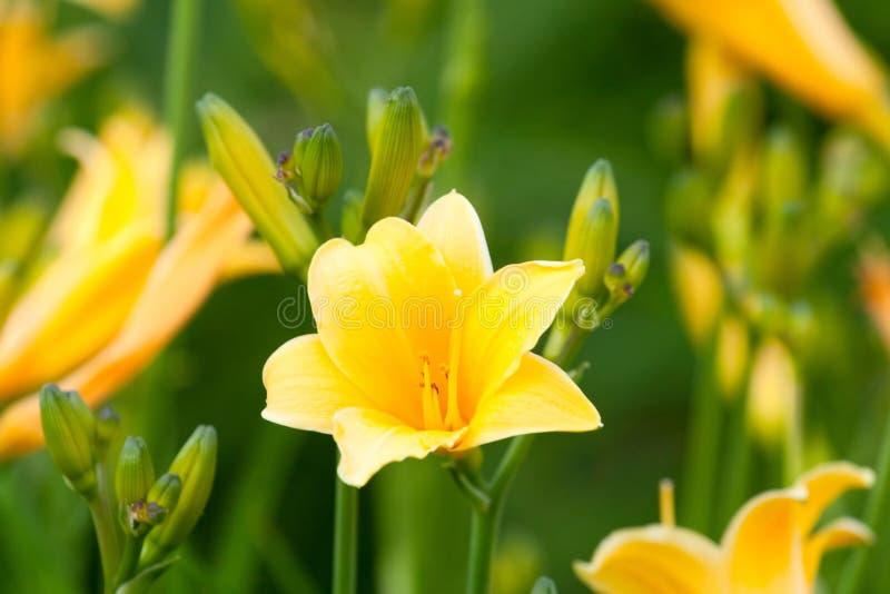 Hemerocallis hermoso, flor amarilla imágenes de archivo libres de regalías