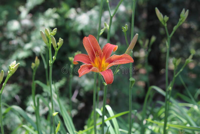 Hemerocallis, laranja (fulva do Hemerocallis) imagens de stock royalty free