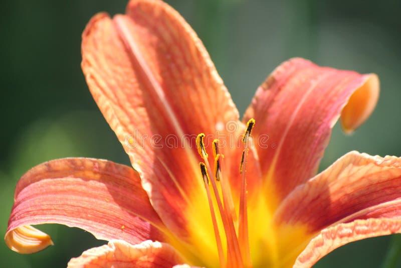 Hemerocallis, laranja (fulva do Hemerocallis) fotos de stock