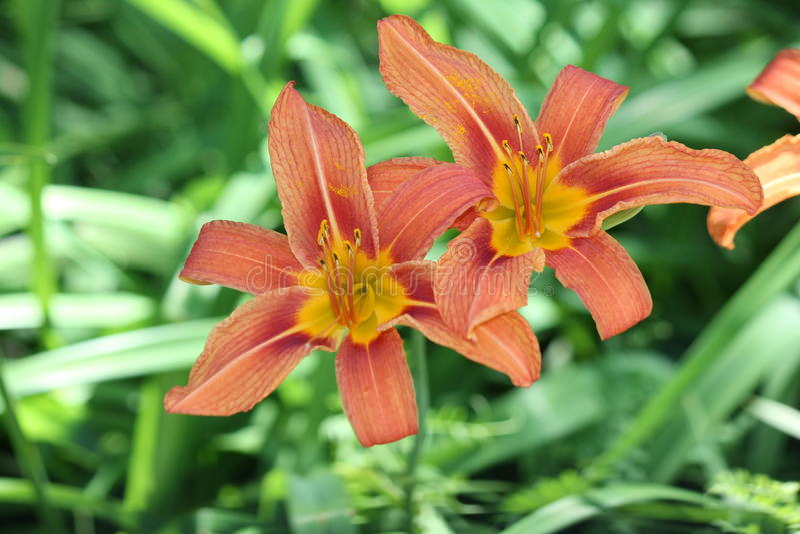 Hemerocallis, laranja (fulva do Hemerocallis) imagem de stock royalty free
