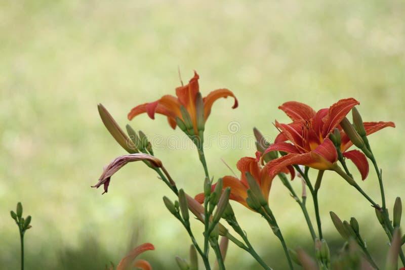 Hemerocallis, laranja (fulva do Hemerocallis) foto de stock