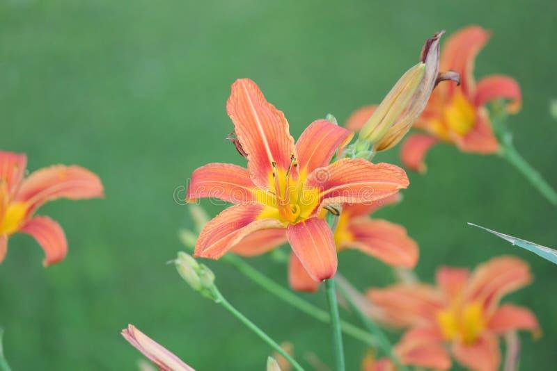 Hemerocallis, laranja (fulva do Hemerocallis) fotografia de stock royalty free