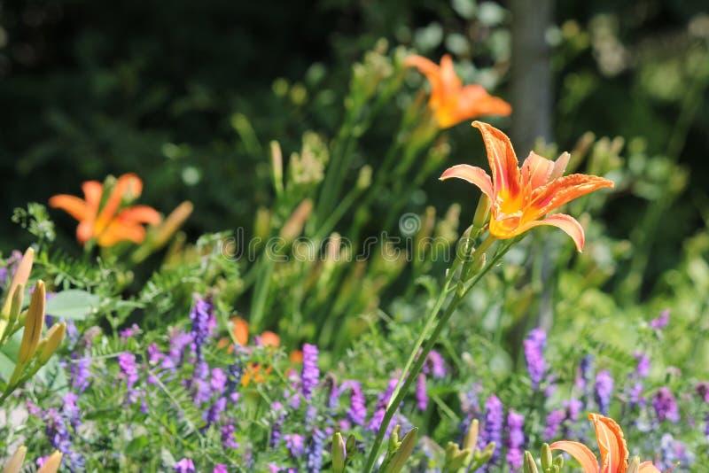 Hemerocallis, laranja & x28; Fulva& x29 do Hemerocallis; fotografia de stock