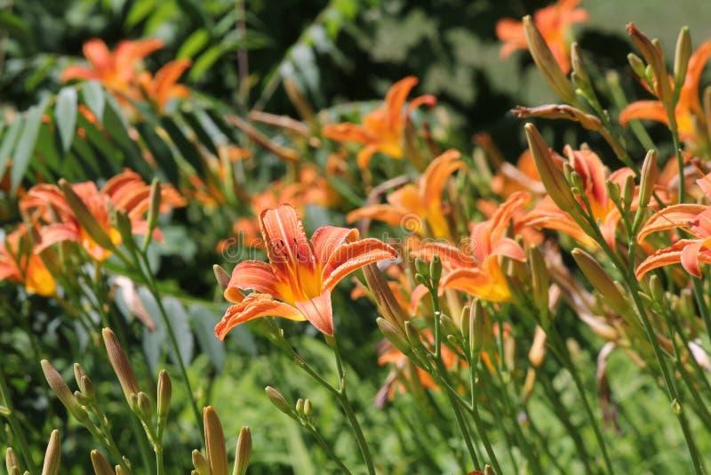 Hemerocallis, laranja & x28; Fulva& x29 do Hemerocallis; fotos de stock