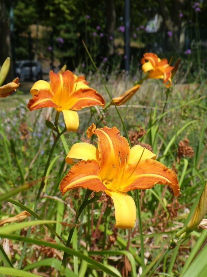 Hemerocallis magnífico do hemerocallis de dois tons alaranjado e amarelo imagens de stock royalty free