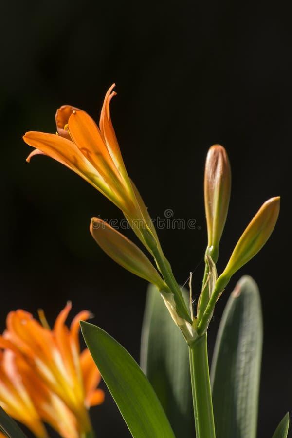 Hemerocallis Mikado dell'emerocallide fotografie stock