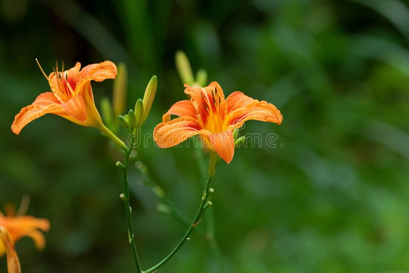 Hemerocallis molhado, flor do amarelo alaranjado com parte traseira verde borrada do jardim imagens de stock