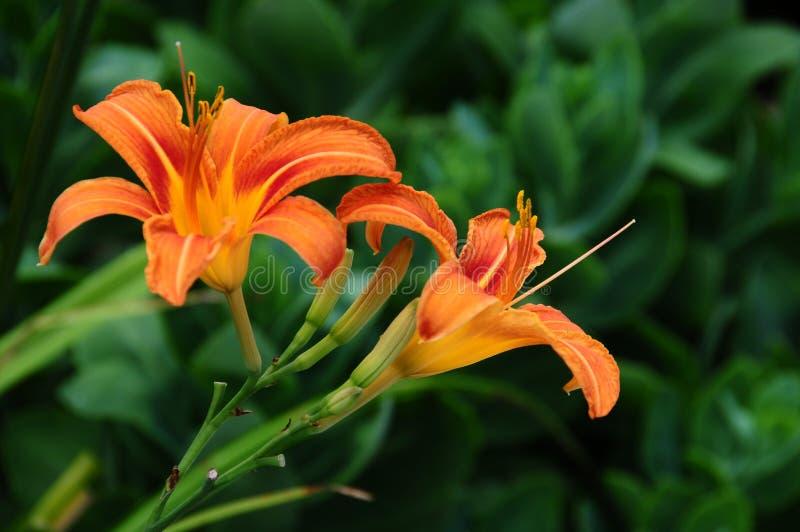 Hemerocallisfulva, getaand of oranje daylily stock fotografie