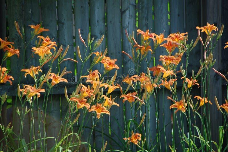 Hemerocallisfulva, getaand of oranje daylily royalty-vrije stock fotografie