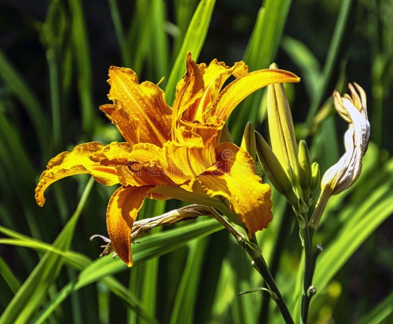 Hemerocallisfulva som är bekant som orange dag-lilja, gulbrunt, tiger, järnväg, vägren eller fulvous daylily, också dike, uthus e royaltyfri fotografi
